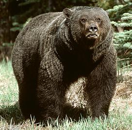 bear safety tips